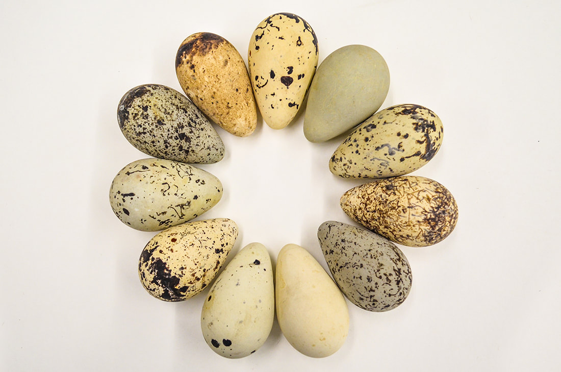 Bird eggs arranged in a wreath-like pattern to illustrate the diversity of avian egg coloration.