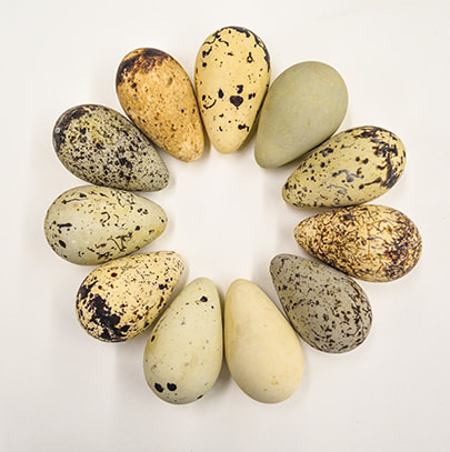 Beautifully colored wild bird eggs arranged in the pattern of a wreath