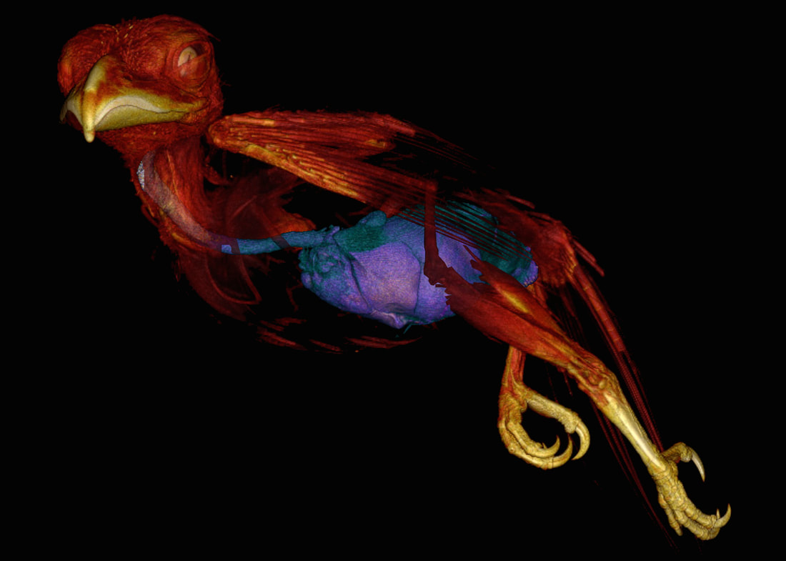 Computerized tomography scan of a bird with colors that show different organs and structures