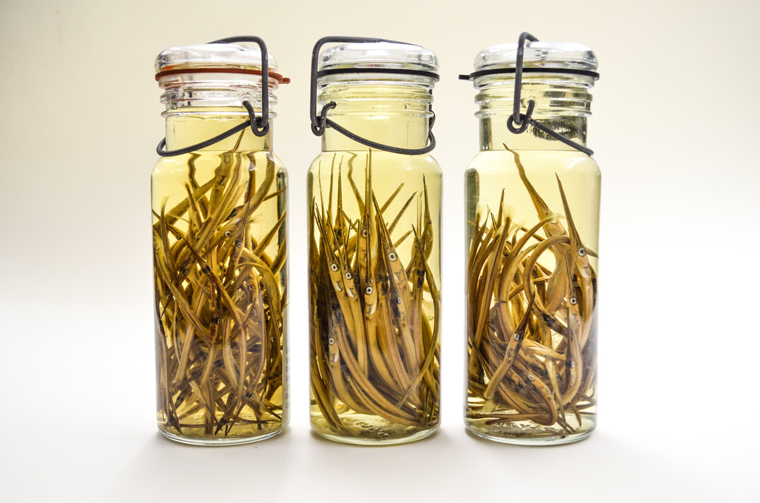 Mason-type sample jars filled with fish specimens in liquid preservative.